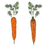 Fresh Orange Carrots with Leaves. Half of Carrot. Sliced Carrot. Ripe Vegetables. Carrots with Tops. Vegetarian Cuisine. Salad Ing. Redient. Realistic Hand Drawn Royalty Free Stock Photo