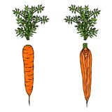 Fresh Orange Carrots with Leaves. Half of Carrot. Sliced Carrot. Ripe Vegetables. Carrots with Tops. Vegetarian Cuisine. Salad Ing. Redient. Realistic Hand Drawn Stock Photos
