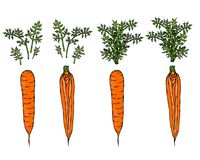 Fresh Orange Carrots with Leaves. Ripe Vegetables. Carrots with Separated Tops. Vegetarian Cuisine. Salad Ingredient. Realistic Ha. Fresh Orange Carrots with Stock Photography