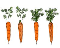 Fresh Orange Carrots with Leaves. Ripe Vegetables. Carrots with Separated Tops. Vegetarian Cuisine. Salad Ingredient. Realistic Ha. Fresh Orange Carrots with Royalty Free Stock Photography