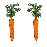 Fresh Orange Carrots with Leaves. Ripe Vegetables. Carrots with Tops. Vegetarian Cuisine. Salad Ingredient. Realistic Hand Drawn I. Llustration. Savoyar Doodle Stock Images