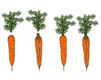 Fresh Orange Carrots with Leaves. Ripe Vegetables. Carrots with Separated Tops. Vegetarian Cuisine. Salad Ingredient. Realistic Ha. Fresh Orange Carrots with Royalty Free Stock Images