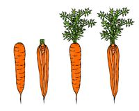 Fresh Orange Carrots with Leaves. Ripe Vegetables. Carrots with Tops. Vegetarian Cuisine. Salad Ingredient. Realistic Hand Drawn I. Fresh Orange Carrots with Royalty Free Stock Photography