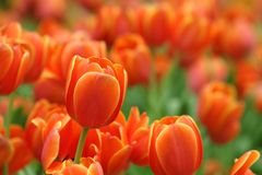 Free Fresh Orange Color Tulip In Flower Bed During Spring Season With Copy Space Royalty Free Stock Photos - 168594818