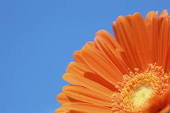 A fresh and orange daisy flower in summer Royalty Free Stock Photos