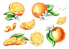 Fresh Orange fruit compositions collection. Watercolor hand drawn illustration, isolated on white background.  Royalty Free Stock Images