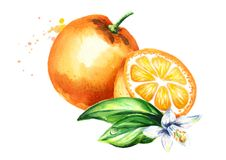 Fresh orange fruit with flower and leaves composition. Watercolor hand drawn illustration, isolated on white background. Fresh orange fruit with flower and Royalty Free Stock Photo