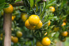 Fresh orange fruit in orchard, Clean fruit or popular fruit background, market fruit from agriculture orchard Royalty Free Stock Photos