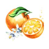 Fresh Orange  fruits composition. Watercolor hand drawn illustration, isolated on white background Royalty Free Stock Photography