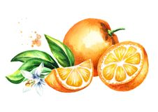 Fresh Orange  fruits, leaves and flower composition. Watercolor hand drawn  illustration, isolated on white background. Stock Photography