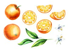 Fresh Orange fruits and leaves with flowers collection. Watercolor hand drawn illustration, isolated on white background Stock Images