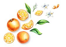 Fresh Orange  fruits, leaves and flowers top view composition. Watercolor hand drawn illustration, isolated on white background.  Royalty Free Stock Photo