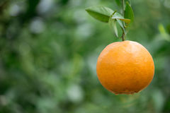 Fresh orange Stock Image