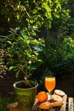 Fresh orange juice. Home garden. The orange tree. Summer Drink Stock Images