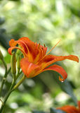 Fresh orange lily in nature. Shallow DOF Stock Image