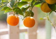 Fresh orange on orange tree Stock Photos