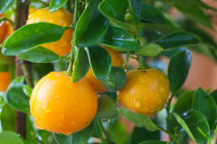 Fresh orange on orange tree Royalty Free Stock Image