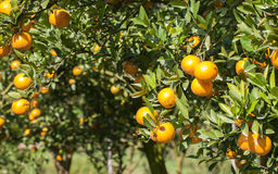 Fresh orange on plant, orange tree Royalty Free Stock Photography