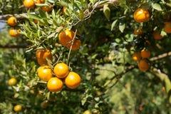 Fresh orange on plant, orange tree Royalty Free Stock Image