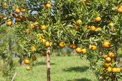 Fresh orange on plant, orange tree Stock Images