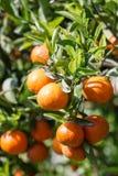 Fresh orange on plant,Orange tree. Stock Images
