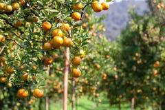 Fresh orange on plant,Orange tree. Stock Photography