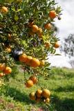 Fresh orange on plant,Orange tree. Stock Image
