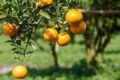 Fresh orange on plant,Orange tree. Royalty Free Stock Photos