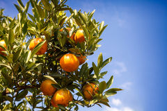 Fresh orange on plant,Orange tree. Stock Image