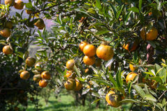 Fresh orange on plant,Orange tree. Royalty Free Stock Photography