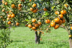 Fresh orange on plant,Orange tree. Stock Photography