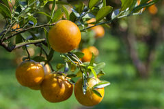 Fresh orange on plant,Orange tree. Stock Photos
