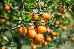 Fresh orange on plant,Orange tree. Royalty Free Stock Images