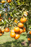 Fresh orange on plant, orange tree Royalty Free Stock Image