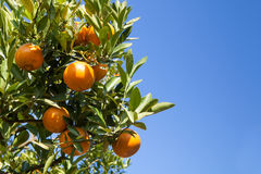 Fresh orange on plant, orange tree Stock Photo