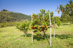 Fresh orange on plant, orange tree Royalty Free Stock Photo