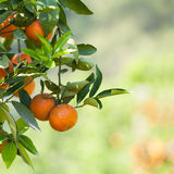 Fresh orange on plant, orange tree Royalty Free Stock Photography