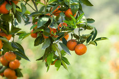 Fresh orange on plant, orange tree Stock Images
