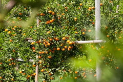 Fresh orange on plant, orange tree Royalty Free Stock Photos