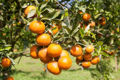 Fresh orange on plant, orange tree Stock Image