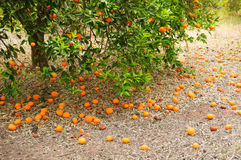 Fresh orange on plant, orange Royalty Free Stock Image