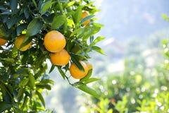 Fresh orange on plant, orange tree. Royalty Free Stock Photo