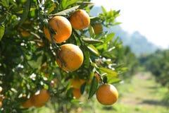 Fresh orange on plant, orange tree. Royalty Free Stock Images