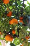 Fresh orange on plant, orange tree in Menton, France Stock Photo