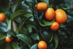 Fresh orange on plant, orange tree stock photography