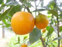 Fresh orange. On plant orange tree Royalty Free Stock Photos