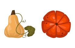 Fresh orange pumpkin vegetable isolated vector illustration. Royalty Free Stock Image