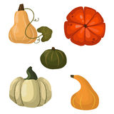 Fresh orange pumpkin vegetable  vector illustration. Royalty Free Stock Photography