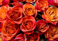 Fresh orange red roses Stock Photos