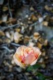 Fresh orange rose on background of dry leaves Royalty Free Stock Image